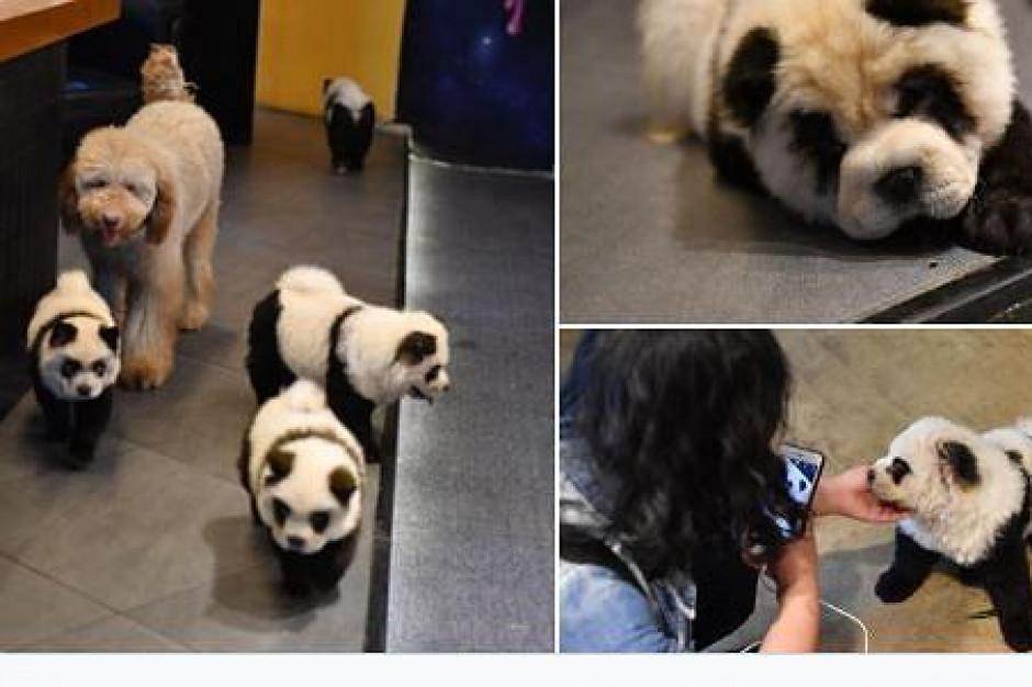 W chińskiej restauracji malowano psy, żeby wyglądały jak pandy