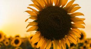 Grillowany słonecznik zdobywa popularność wśród entuzjastów niecodziennych smaków