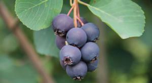 Świdośliwa - rzadki owoc dostępny już w hurcie